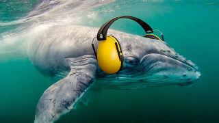 Ballena con protección auditiva contra el ruido
